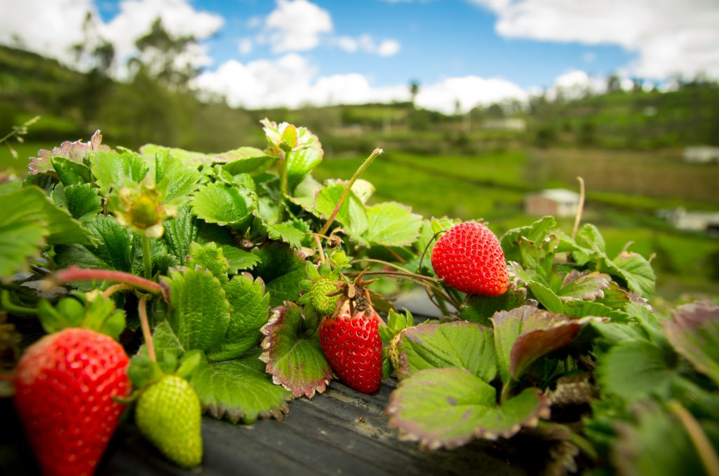 Pick-Your-Own Strawberries in Loganville